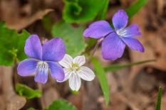 Violets & Spring Beauty